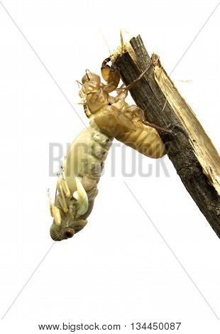 Cicada metamorphosis (Latin Cicadidae). Last molt - the transformation into an adult insect