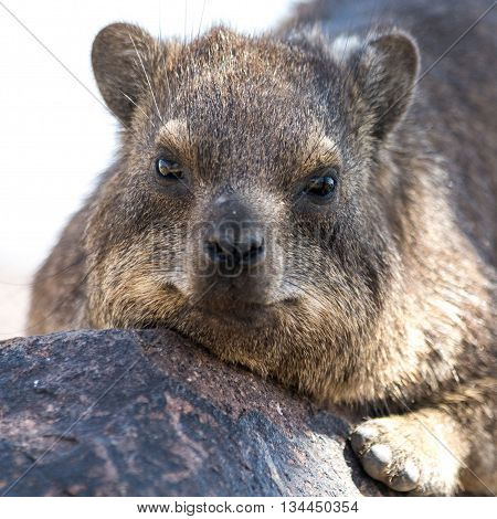 Portrait Of A Cliff Hyrax