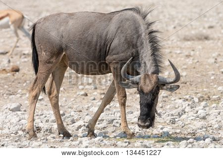 Blue Wildebeest (brindled Gnu)