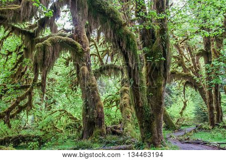 Green Lush Plants Of Temperate Rainforest At Olympic National Park, Washington,  Usa