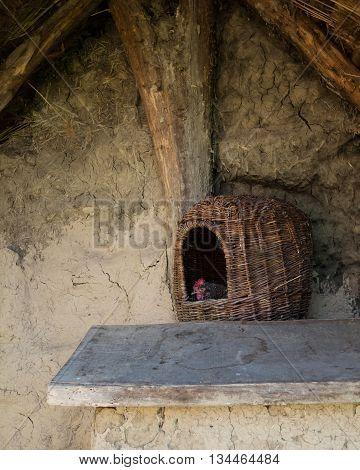 Hen in a wooden wicker basket laying an egg