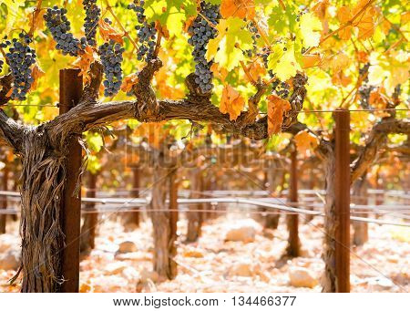 Vibrant California grapevines in autumn in sunlight. Red grapes hang in bright sunlight. Woody cordon and trunk of a Napa grape vine. Orange yellow and green leaves in fall at harvest.