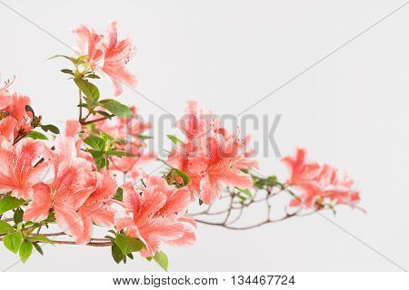 Close up of coral pink and white azalea flowers on branch with white background.