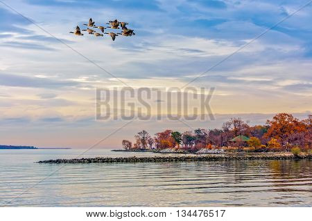 Canada Geese flying over the Chesapeake Bay in Maryland in Autumn