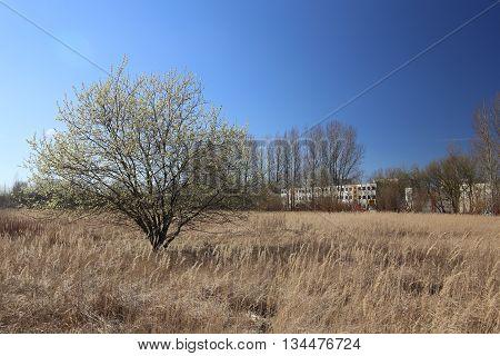 Willow In Dry Grasslands Near Greifswald, Mecklenburg-vorpommern, Germany