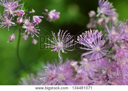 Macro photo of columbine meadow-rue flowers (Thalictrum aquilegiifolium).
