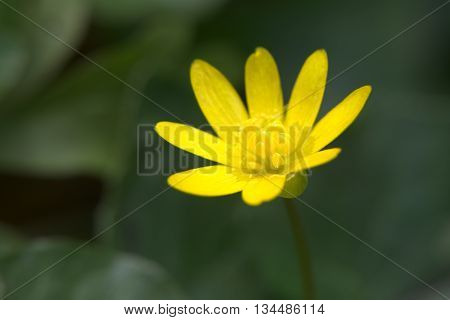 Fig Buttercup (ficaria Verna) In High Contrast Image
