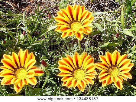 Blooming Gazania in Ramat Pinkas near Or Yehuda Israel
