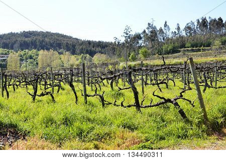 Traditional vineyard in the north of Portugal
