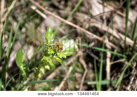 Still Closed Blossoms Of Herb Barbara (barbarea Vulgaris)