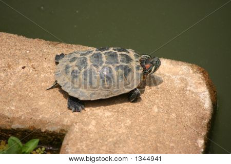 a turtle resting by a pond