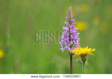 Common spotted orchid (Dactylorhiza fuchsii) and dandelion (Taraxacum offinale) flowers. Pink and yellow wildflowers in a British meadow in the families Orchidaceae and Asteraceae