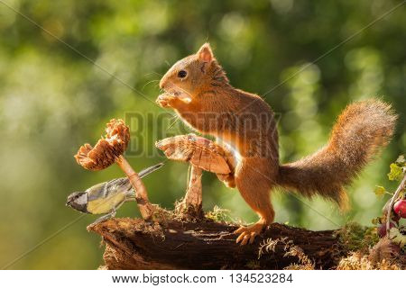 red squirrel standing with one feet on mushroom and titmouse under