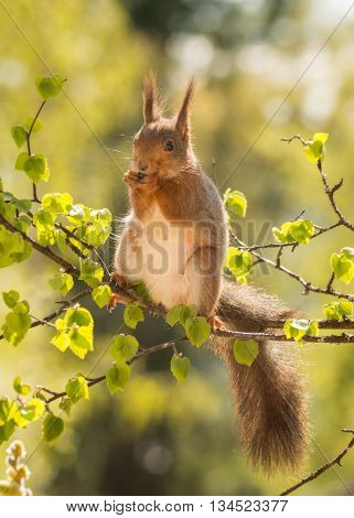 red squirrel standing on branch with young birch leaves