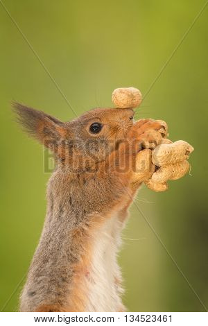 red squirrel sholding peanuts with one balanced on nose