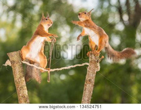 red squirrels in the air on rope and branches doing trapeze act