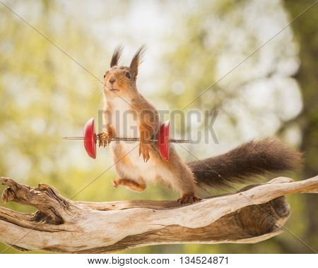 red squirrel standing on tree trunk with weight object and moving blurry leg