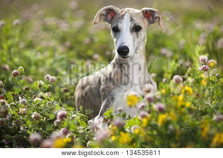 dog breeds whippet, greyhound hunting dog