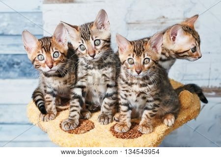 Four adorable brown spotted bengal kittens sitting on a stand