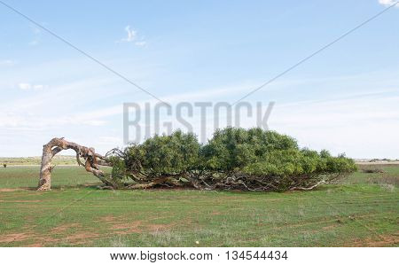 Windswept leaning tree of Greenough with bent trunk and horizontal display in the Western Australian landscape under clear skies.