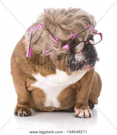 female english bulldog wearing wig with hair rollers on white background