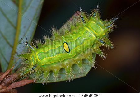 beautiful green Stinging Nettle Slug Caterpillar found at night poster