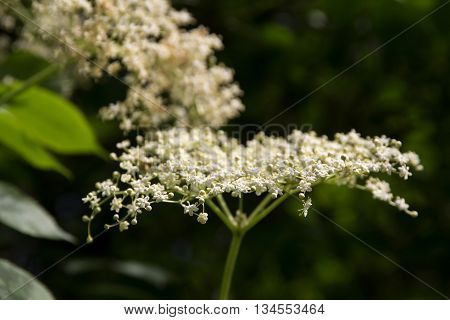 blooming elderflower (Sambucus nigra) on the bush in the garden closeup with selected focus and a very narrow depth of field