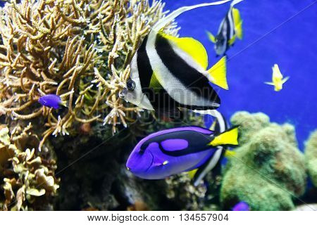 Blue surgeonfish (Paracanthurus hepatus) also known as the blue tang. Wild life animal.