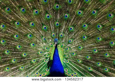 Male peacock in sunlight with colorful feathers