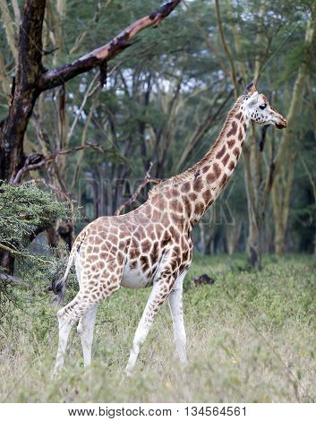 African giraffe in the meadows of the savanna on a rainy day in Tarangire National Park, Tanzania.