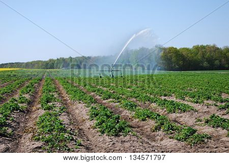 Irrigation of a field with strawberry plants