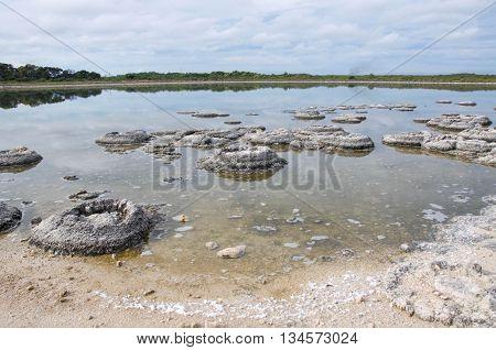 Oldest living marine fossils, stromatolites, in the Lake Thetis landscape under an overcast sky in Western Australia.