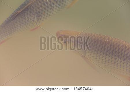 Two living swimming common rudds (Scardinius erythrophthalmus)