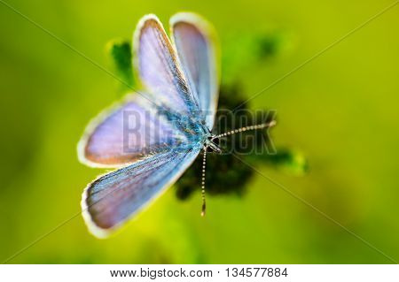 Adonis blue (Lysandra bellargus) butterfly with natural green background