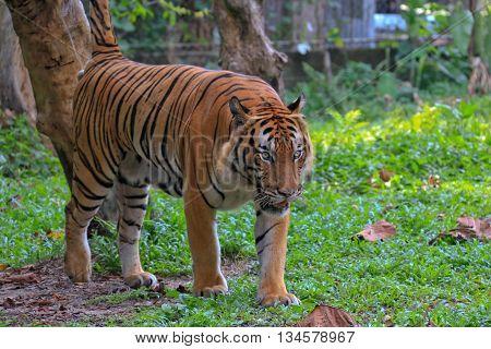 Fiery Bengal tiger (Panthera tigris) looking for prey