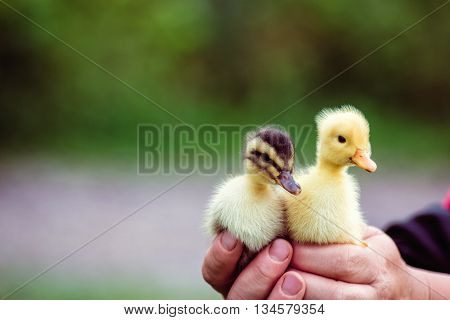 Two Duckling In A Man's Hand