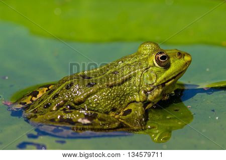 green frog (Rana esculenta) sitting in the water