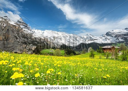 Grindelwald Landscape Switzerland - Landscape of yellow flower fields in Switzerland. Landscape of green fields and famous stunning high cliffs in Switrzerland.
