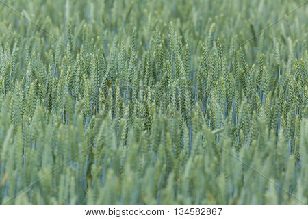 Field of a green wheatfield with ears