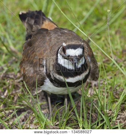 Killdeer on grass mad because the nest is nearby the photographer