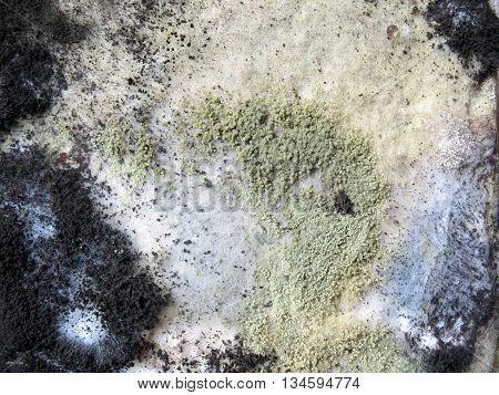 close up mold growing on breadgreeb spores white spores and black spores