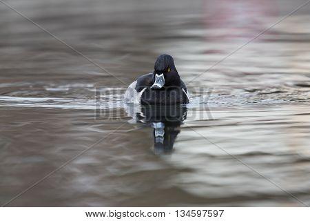 Front view of a ring-billed duck (Aythya collaris, Marila collaris, Nyroca collaris)
