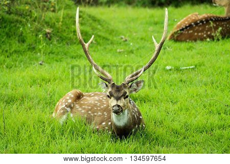 Chital or Axis or Spotted deer grazing on wet day