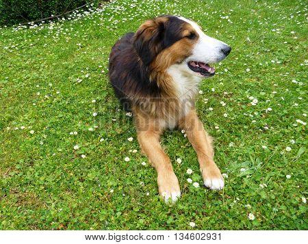 Young Bern Sheppard Dog On A Green Grass