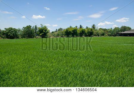 Rice field green grass blue sky cloud cloudy landscape background.