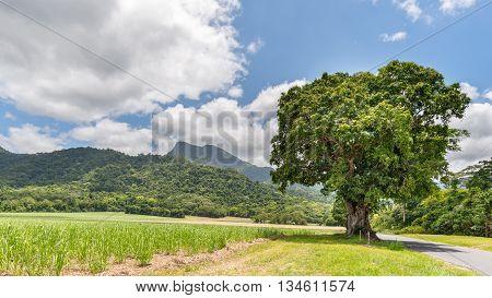 Manjal Dimbi (a.k.a. Mount Demi) sugar cane fields and a flowering Mango tree in Mossman Gorge, Daintree Rainforest, Queensland, Australia.