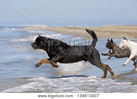 rottweiler bull terrier et french bulldog running on the beach