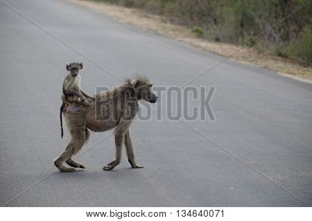 A baby baboon hitches a ride on its mother's back
