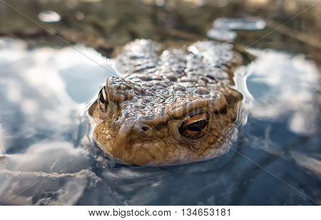 Common toad - Bufo Bufo - macro