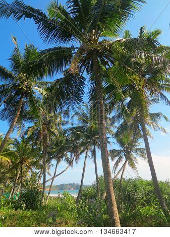 Green coconut palm trees in Weligama bay, Sri Lanka